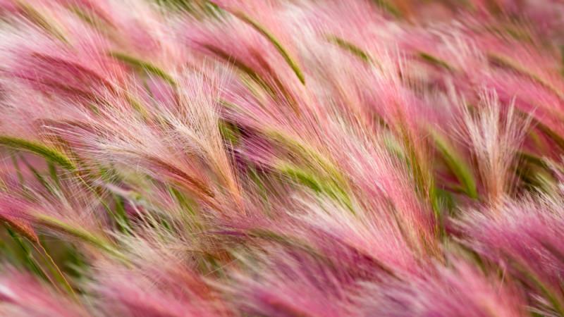 foxtail-barley